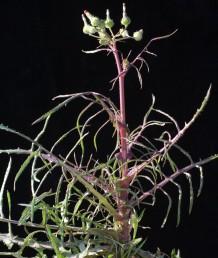 הקרקפות ערוכות בקבוצות של 12-6 בראש הגבעולים הפורחים. העלים העליונים הסמוכים לתפרחות גזורים לאונות צרות ודמויות סרגל.