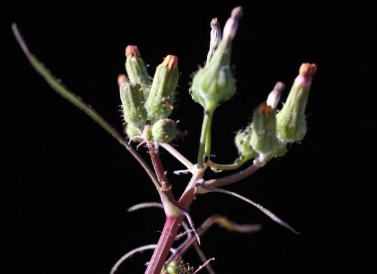 מרור קטן-קרקפת Sonchus microcephalus Mejias