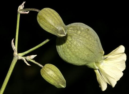 ציפורנית נפוחה Silene vulgaris (Moench) Garcke