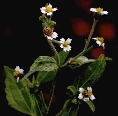 גלינסוגה קטנת-פרחים Galinsoga parviflora Cav.