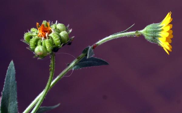 Calendula arvensis L.