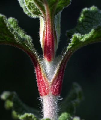 לוטם שעיר Cistus creticus L.