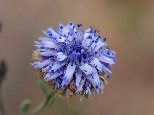 Globularia arabica Jaub. & Spach