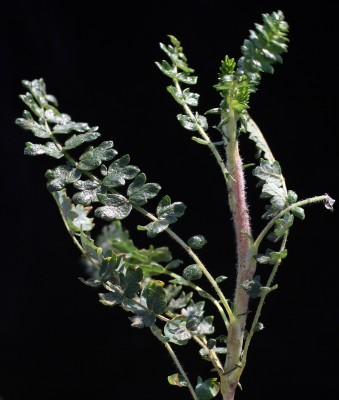 סירה קוצנית Sarcopoterium spinosum (L.) Spach