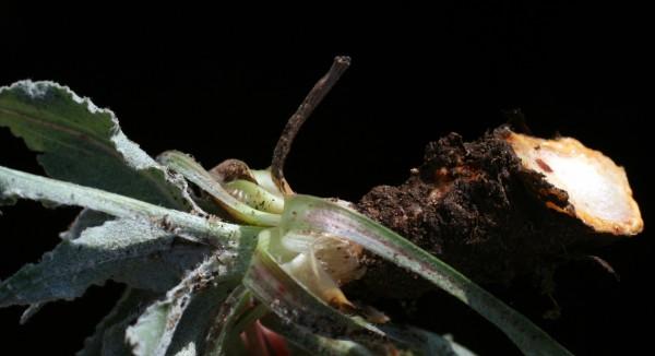 הרדופנין הציצית Scorzonera papposa DC.