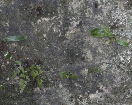 גריזית אירופית Asplenium scolopendrium L.