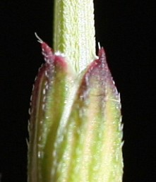 החוד שבראש עלי-הגביע מסתיים ב-2-1 זיפים לבנים, אורכם כאורך החוד או גדול ממנו.