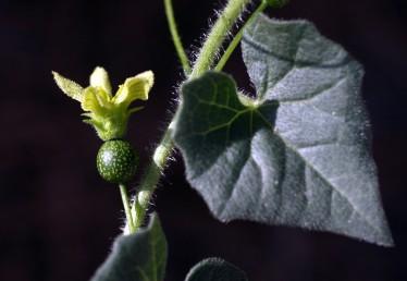 צמחים מטפסים בעלי קנוקנות, העלה מפורץ בעל 5 אונות קהות. צמח נקבי בעל שחלה תחתית.