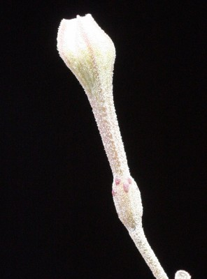 בלוטנית מפורצת Commicarpus sinuatus Meikle