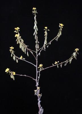 איסטיס קטן-פרי Isatis microcarpa J.Gay ex Boiss.