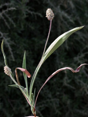 Plantago amplexicaulis Cav.