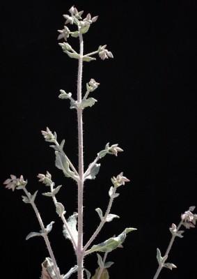 צמרורה אפריקנית Trichodesma africana (L.) Lehm.