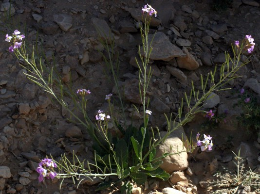 טוריים מדבריים Diplotaxis acris (Forssk.) Boiss.