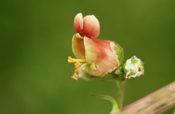 Scrophularia rubricaulis Boiss.