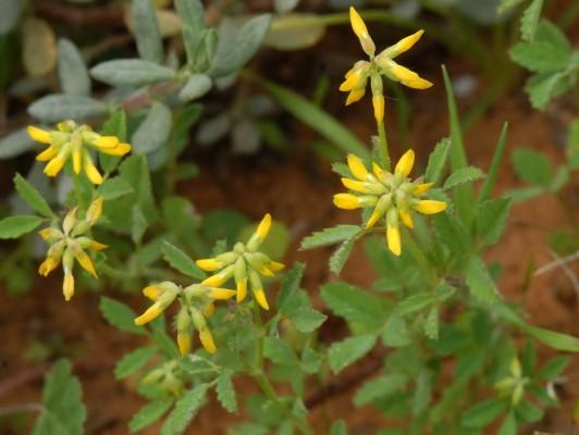 גרגרנית גלילנית Trigonella cylindracea Desv.