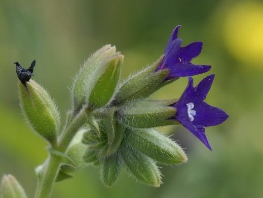 לשון-פר מצויה Anchusa undulata L.