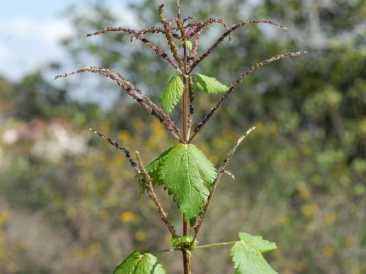 סרפד קרומי Urtica membranacea Poir.