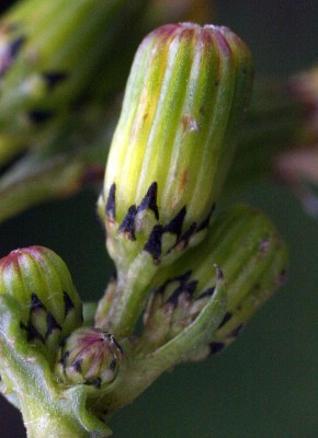 סביון פשוט Senecio vulgaris L.