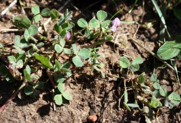 תלתן ישראלי Trifolium israeliticum D.Zohary & Katzn.