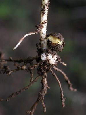 בקיית הגליל Vicia galilaea Plitmann & Zohary