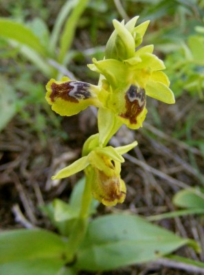 דבורנית צהובה Ophrys lutea Cav.