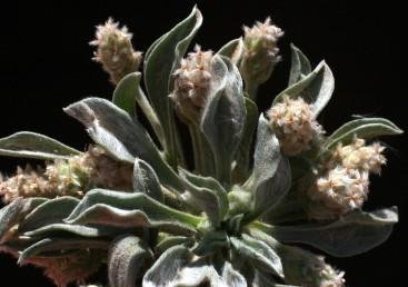 העלים דמויי ביצה או מרית ובעלי פטוטרות.