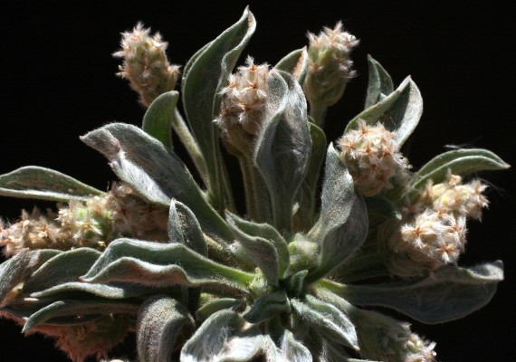 Plantago ciliata Desf.