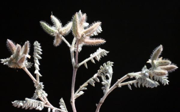 קדד שימפר Astragalus schimperi Boiss.