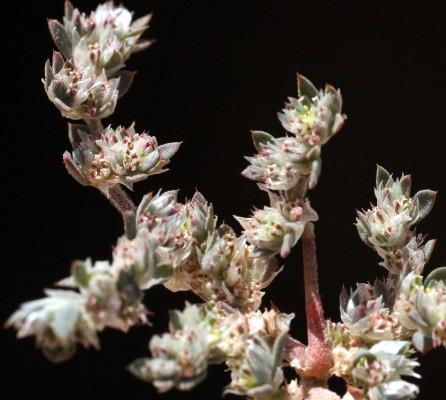 Paronychia arabica (L.) DC.