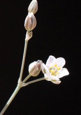 פריינית קירחת Polycarpaea robbairea (Kuntze) Greuter & Burdet