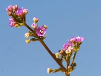 הפרחים ורודי כותרת, ערוכים בדורים, אבקנים 2.