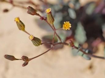עוקצי הקרקפות ארוכים בהרבה מהקרקפות. הפרחים הלשוניים קטנים בהרבה מעלי-המעטפת. צמחי מדבר.