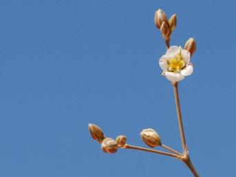 צמחים קירחים . הפרחים בעלי כותרת לבנה.