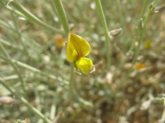 קרוטלריה מצרית Crotalaria aegyptiaca Benth.