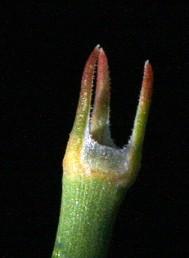 נדני המפרקים בעלי שפה קרומית ריסנית. הצמח ירוק.