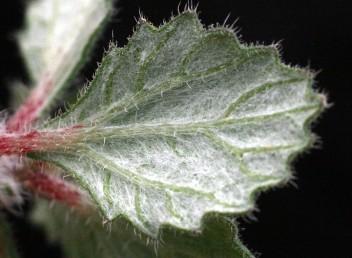 הצד התחתון של העלה לבן בהיותו שעיר במעטה שערות צפוף. הצד העליון ירוק. שפת העלה משוננת.
