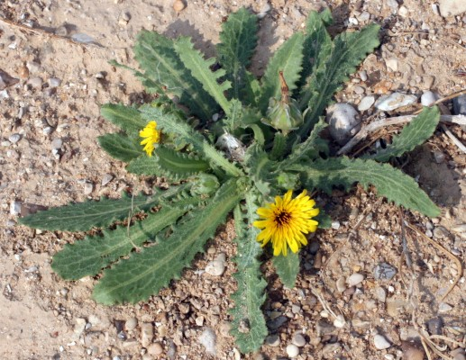 תמריר מרוקני Reichardia tingitana (L.) Roth