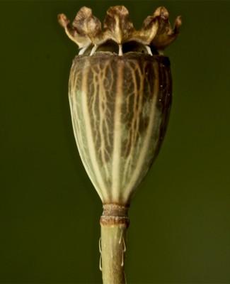 Papaver carmeli Feinbrun
