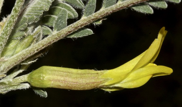 Astragalus dactylocarpus Boiss.