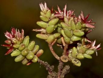 צמחים שגובהם 6-2 ס