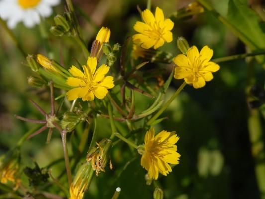 Rhagadiolus stellatus (L.) Gaertn.