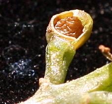 עשנן צפוף Fumaria densiflora DC.