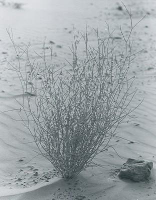 קדד הגמלים Astragalus camelorum Barbey