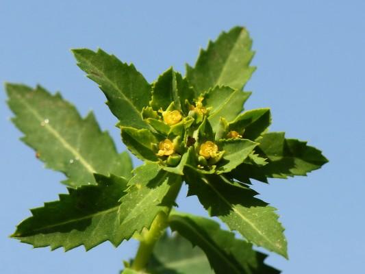 חלבלוב משונשן Euphorbia arguta Banks & Sol.