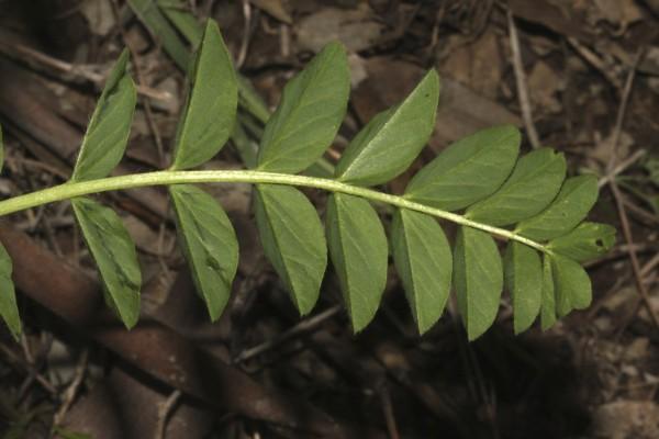 Astragalus oocephalus Boiss.