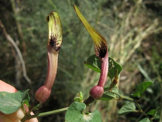 Aristolochia parvifolia Sm.