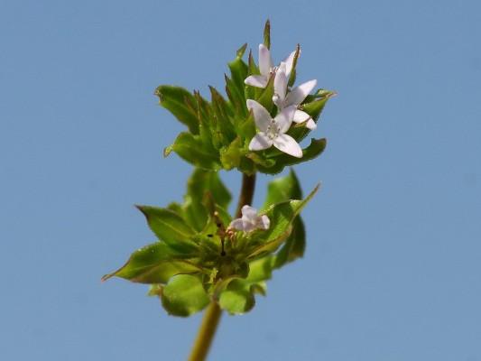 ששית מצויה Sherardia arvensis L.