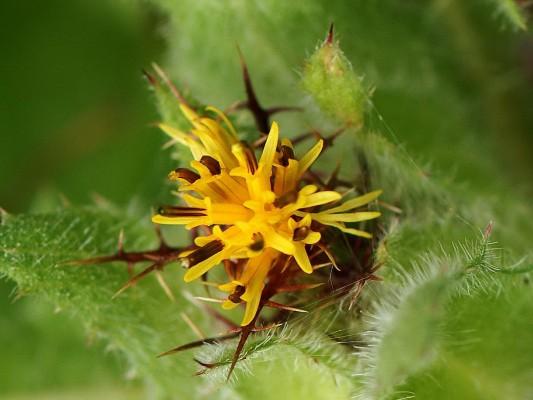 דרדר מבורך Centaurea benedicta (L.) L.