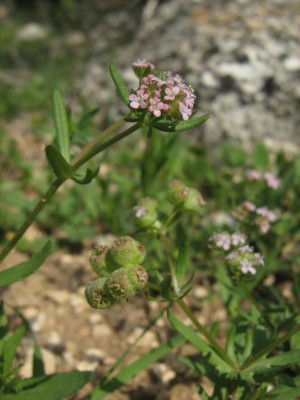 Valerianella vesicaria (L.) Moench