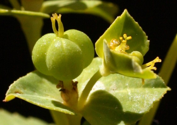 Euphorbia oxyodonta Boiss. & Hausskn. ex Boiss.